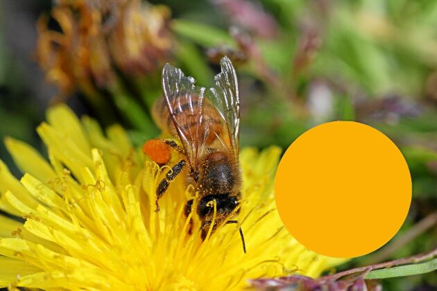 Maskrosorna ger gulrött pollen. Lukta gärna vid bikupan när de blommar. Maskrosdoften brukar kännas.