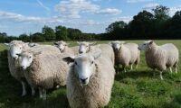 Norsk export av fårkött får politiker att ryta till