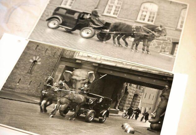1936 använde Børge Petersen en bil som direktörsvagn. Hästarna som drar vagnen är av rasen Oldenburgare.