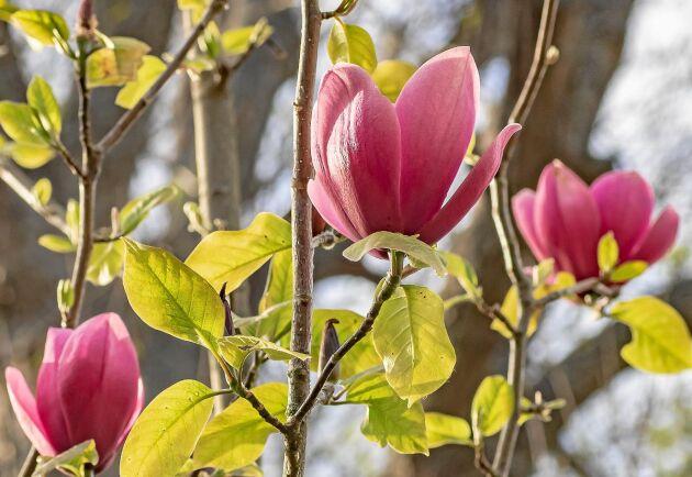 Magnoliakorsningen 'Red Baron' x 'Black Tulip' får mörkt rosa blommor.