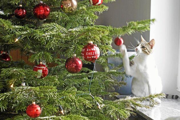 Placera pyntet du är särskilt rädd om – eller som kan vara särskilt svårmotståndligt för katten –högt upp i granen.