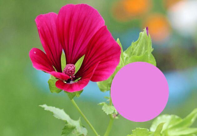 Ser du bin med rosa byxor? De kan ha varit i praktmalvan och rumlat runt.