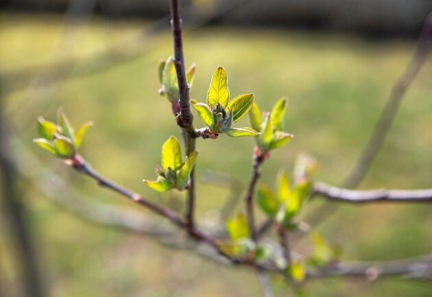 """Knoppning. """"Det har visat sig att äppelodlingar får frostskador även innan det blommar. Det blir så kallade """"slipsar"""" som är en synlig skada på äpplena"""", säger Anders Ebelin."""