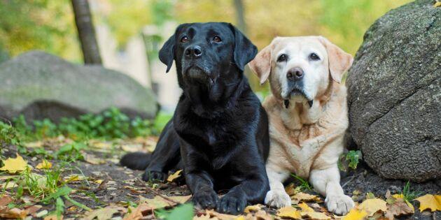 Här är Sveriges populäraste hundraser –och 4 nykomlingar!