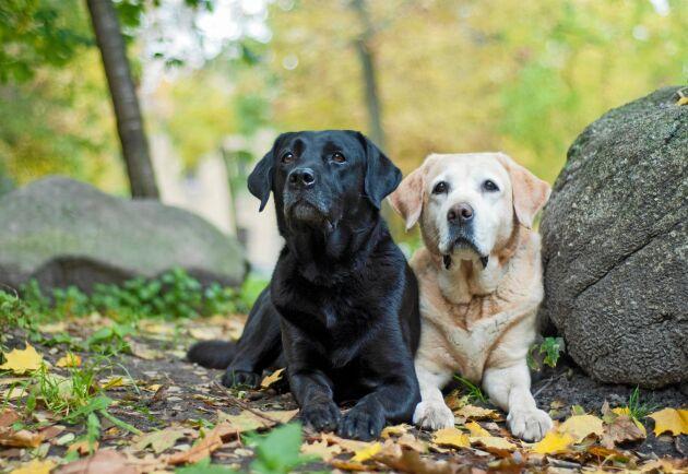 Topp tio nyregistrerade hundar hos Svenska kennelklubben: Finns din favorit med?