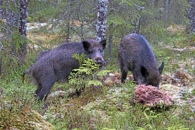 I Norge är vildsvin svartlistade som främmande art, och nu växer debatten om hur migrationen från Sverige ska hanteras.