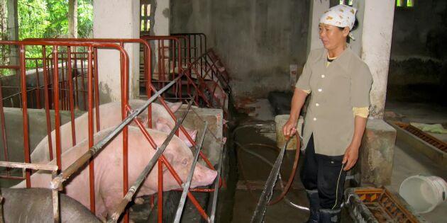 Nödsituation i Vietnam efter svinpestepedemi