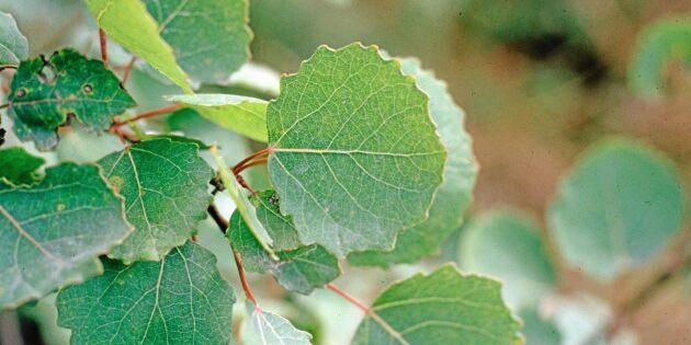 För lite löv i ungskogen för att nå mål