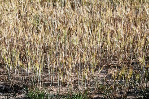 I dag har Jordbruksverket lämnat ett nytt förslag till regeringen där ett arealbaserat stöd ges till odlare av vall, spannmål och oljeväxtodling.