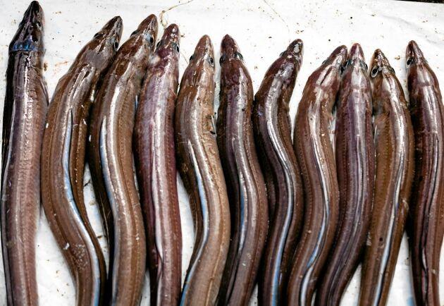 Det råder totalt fiskeförbud på ål från november till januari.