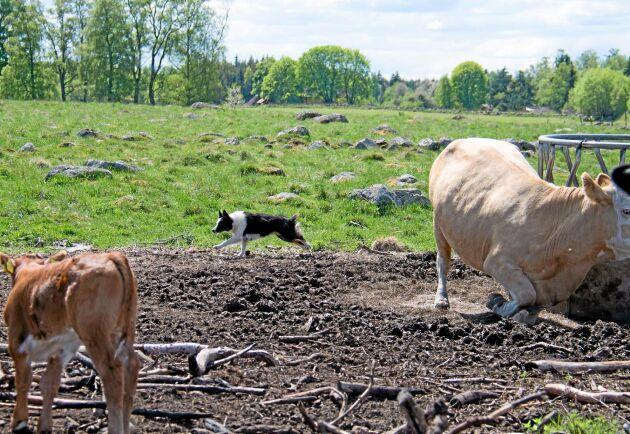 Ett 25-tal kalvar blir det också på gården. Man tar hem några kvigor och låter dem få en kalv innan de går till slakt. – På det sättet får vi en kalv på köpet, säger Anna Molin.