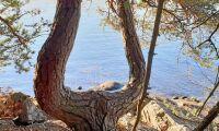 Skogsbilden: Tallen utan strängar på lyran