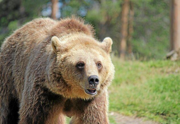 Det tog sex dagar att uppfylla årets kvot under björnjakten i Västerbotten.