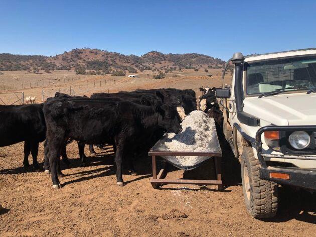 Biffkorna matas med bomullsfrö varannan dag. Något bete finns inte längre för dem på markerna.