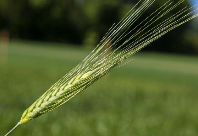 Gotland är det enda länet i Sverige som odlar durumvete som används vid pastatillverkning.