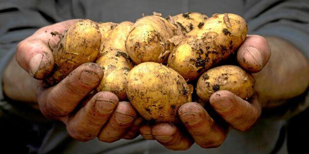 Efter torkan: Så mycket dyrare blir potatisen i vinter