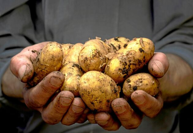 Potatisen kan bli rekorddyr i vinter till följd av sommarens torka.