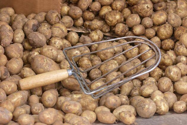 Jämfört med 2018 blir potatisskörden god i år.