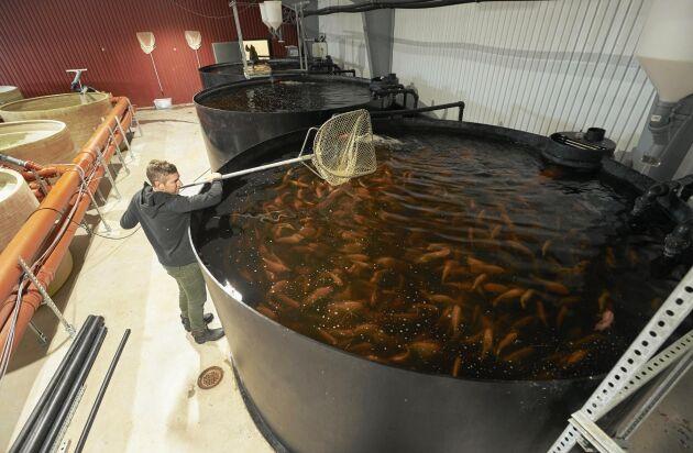 Johan Ljungquist håvar upp fisk i en av de stora bassängerna i ladan i Tollarp.