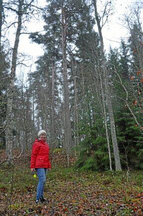 """I den här slänten med lövskog gömmer sig fullvuxna tallar, som glömts kvar när fokus har legat på de stora, lättillgängliga ytorna. Ett typiskt """"hörn""""."""