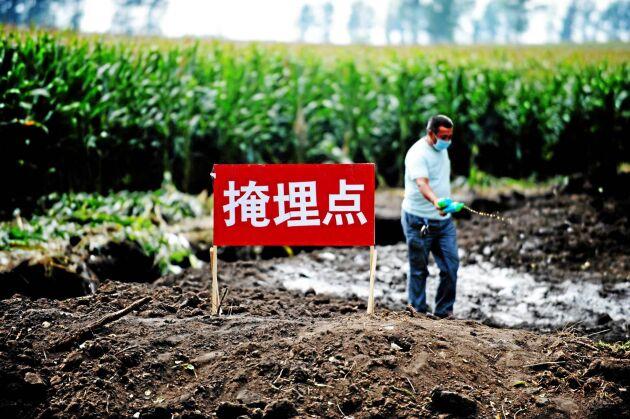 Kina har tidigare erfarenhet av smittsamma epidemier bland landets husdjur. Här desinficeras nedgrävda kadaver efter fågelinfluensan.