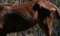 Svårt undernärd häst fick avlivas