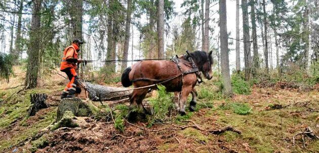 Skonsam avverkning och transport med häst i skogen.