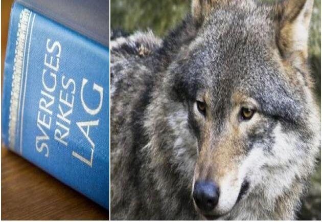 Åklagare Lars Magnusson som har lett förundersökningen tror inte längre att någon varg har dödats den 26 oktober.