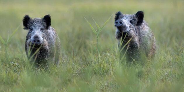 Afrikansk svinpest simuleras med GPS på vildsvin