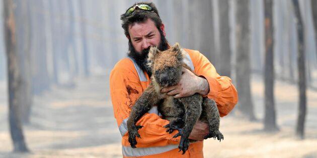 En halv miljard djur kan ha dött i Australien – nu hotas koalan