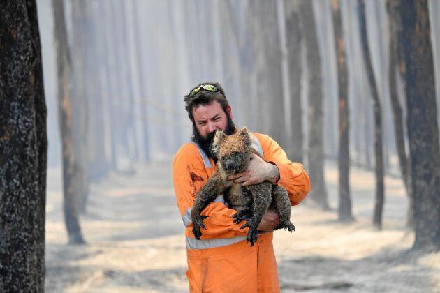 Koalan som sakta återhämtat sig dör nu i tusental i skogsbränderna i Australien.