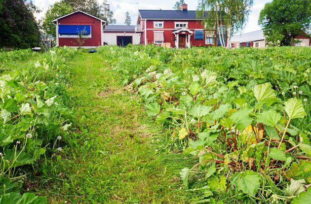 Rabarberlandet med parets boningshus i bakgrunden. De klipper gräset mellan raderna och lägger klippet på plantorna för gödning.