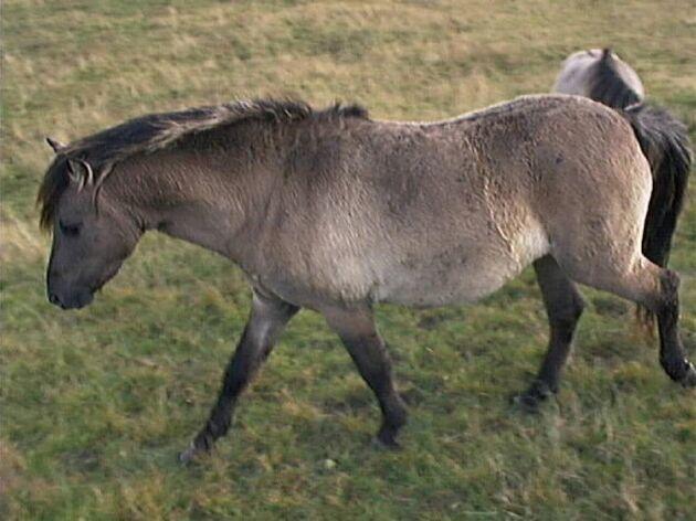 12 hästar av tarpanen ska återintroduceras i det vilda i Bulgarien.
