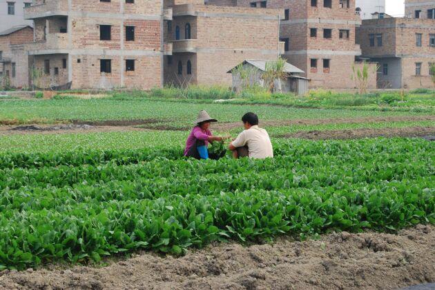 I Kina riskerar stora ytor av odlingsbar mark att gå förlorad när städerna växer.