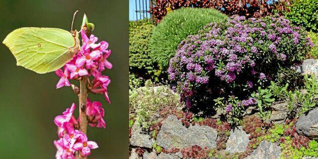 Så odlar du tibast i din trädgård – räddningen för hungriga humlor!