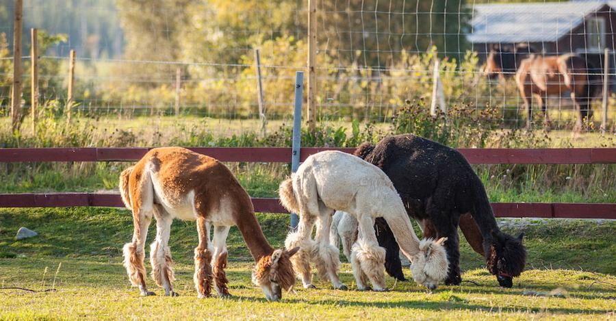 Nya djur i hagen i Mickelsträsk - betande alpackor.