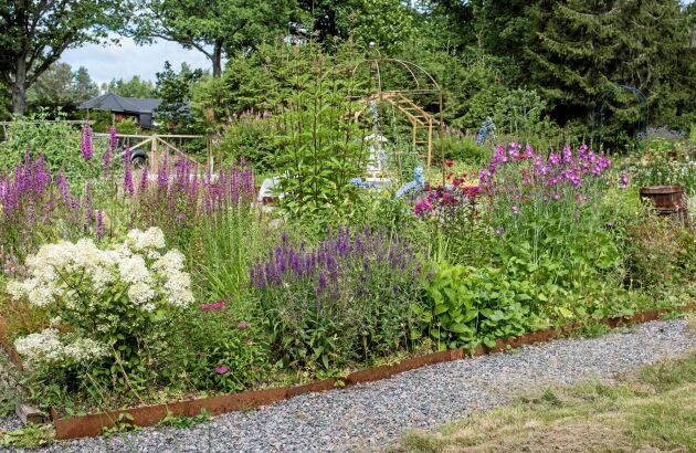 Fackelblomster är en kraftig och buskig perenn med blommor i rosa och lila toner. Trivs bäst i sol, men kan också placeras i halvskugga. Till höger i hörnet syns även en vit hortensia.