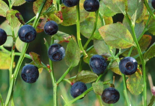 Bismaken har inget med blåbär att göra. Men för oss i Sverige påminner smaken tydligt om just blåbär.