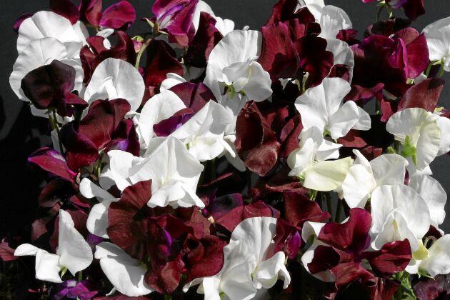 Luktärt 'Night & Day' bjuder på en blandning av rent vita och riktigt mörkröda doftande blommor. Så inomhus i april-maj eller direkt på friland när jorden värmts upp. Höjd cirka 180 cm. Rara växter.