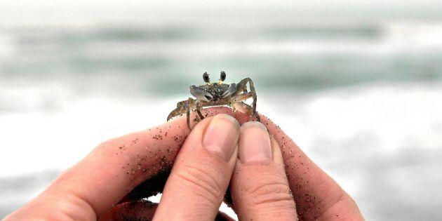 Liten krabba kan hota Östersjöns ekosystem