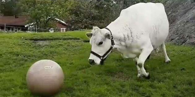 Kolla in filmen på fjällkossan Lotta som älskar att leka – med sin boll!