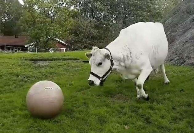Fjällkossan Lotta fick sin pilatesboll för tre år sedan och har övat upp en imponerande bollkontroll.