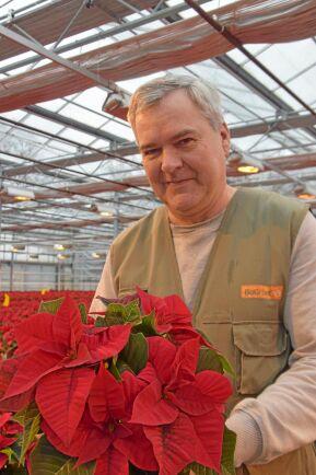 Julstjärnor ska vara röda. Det är de som säljer bäst, även om det finns kunder som vill ha både vita och rosa, säger Peter Höglund.