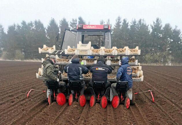 Totalt rör det sig om 120 ton sättpotatis som ska i jorden på 30 hektar.