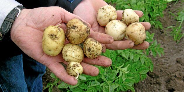 Färskpotatis olönsam affär för odlare