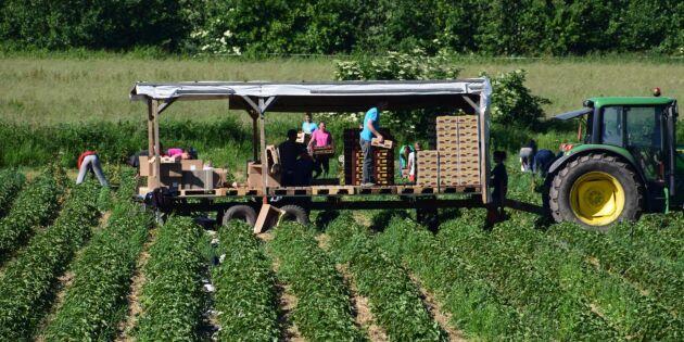 Större skördar av jordgubbar men färre odlare