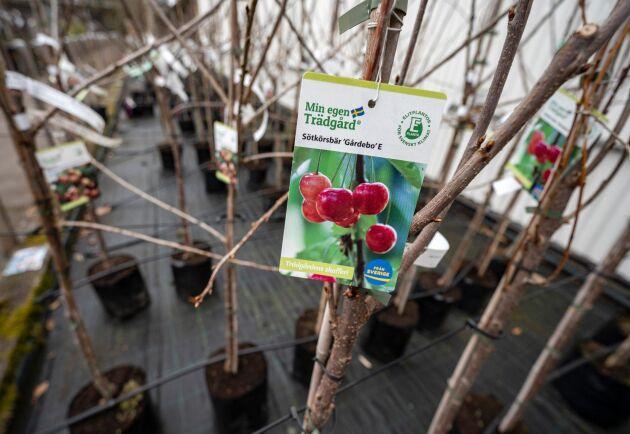 Fruktträd av typen sötkörsbär Gårdebo E till försäljning på Plantskolan i Ängelholm.
