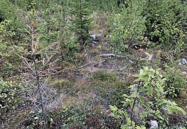 Granar som dukat under av återkommande svampangrepp.