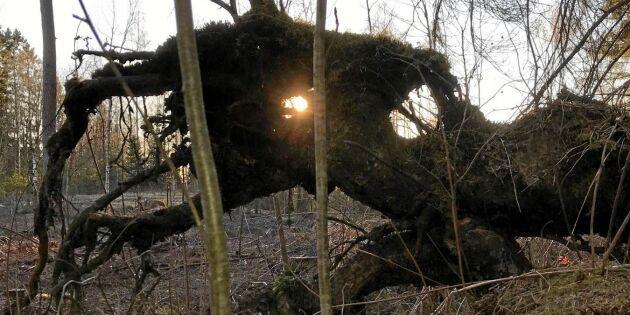 Fornhistorisk rotvälta spanar i skogen