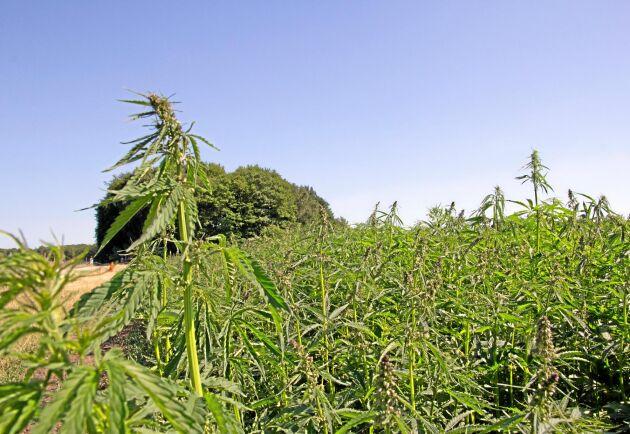 Även i Sverige odlas hampa och enligt företaget Fibonacci utvärderar de möjligheterna till licensproduktion av det träliknande hampamaterialet i de nordiska länderna.